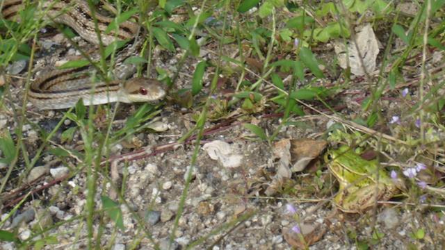 Staarwedstrijd tussen kikker en slang bepaalt wie eet en wie vlucht