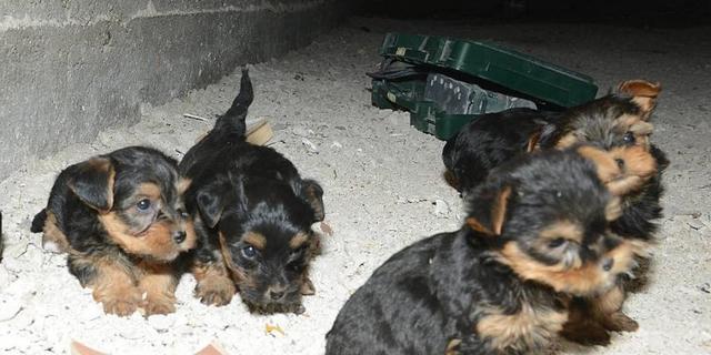 Haagse politie neemt achttien puppies in beslag