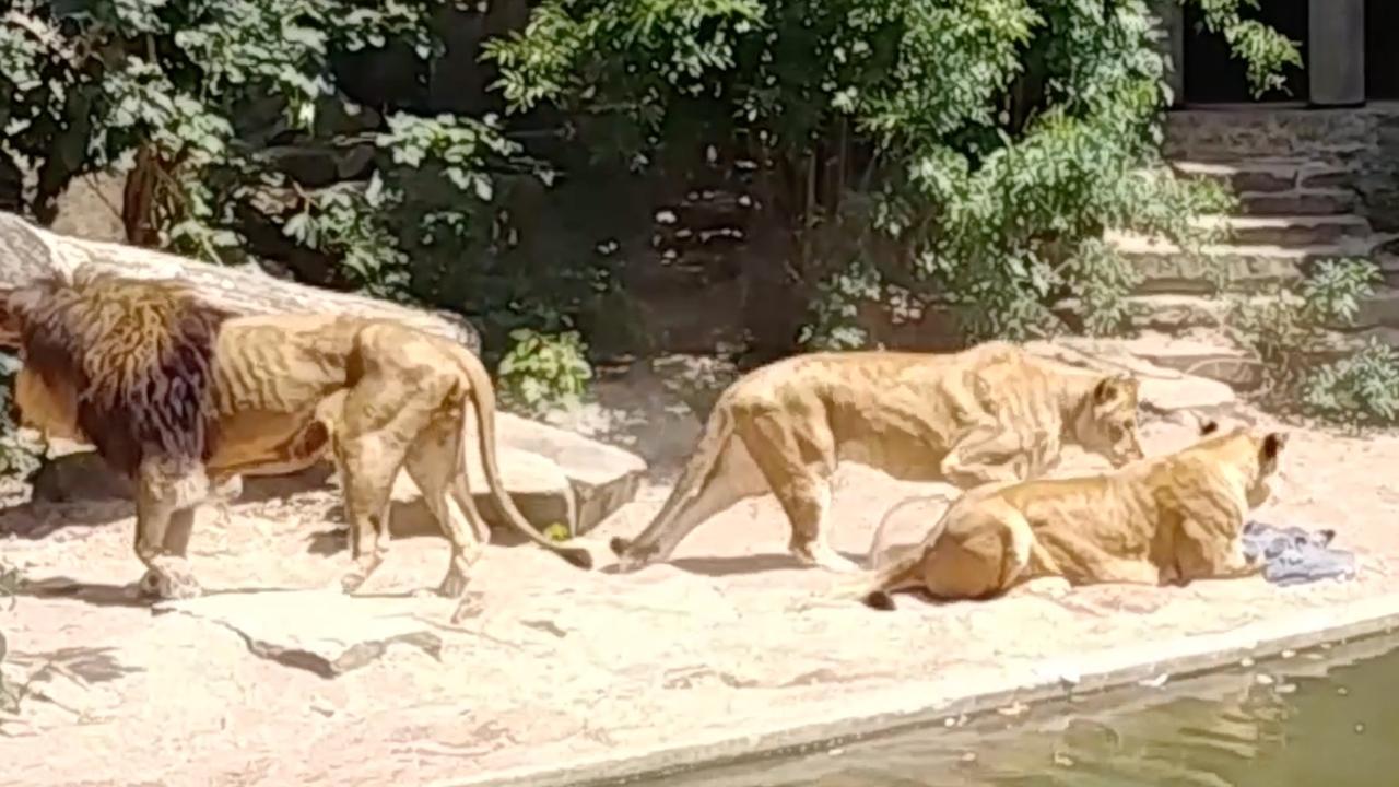 Leeuw grijpt reiger in Artis