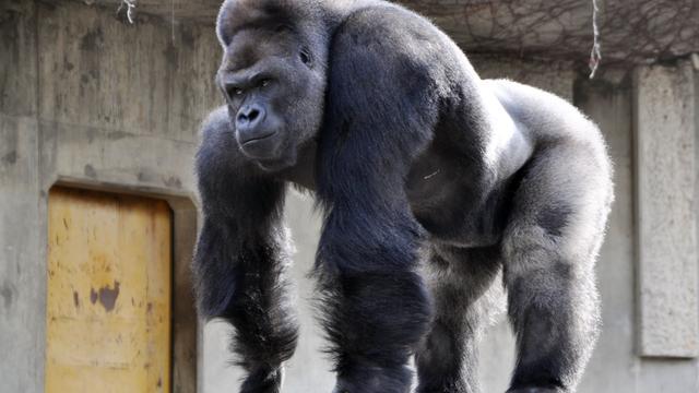 Gorilla in Japanse dierentuin populair onder vrouwelijke bezoekers