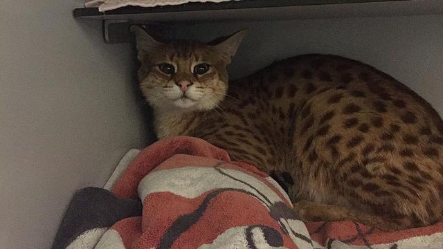 Ontsnapte wilde savannah-kat in Haarlem gevangen