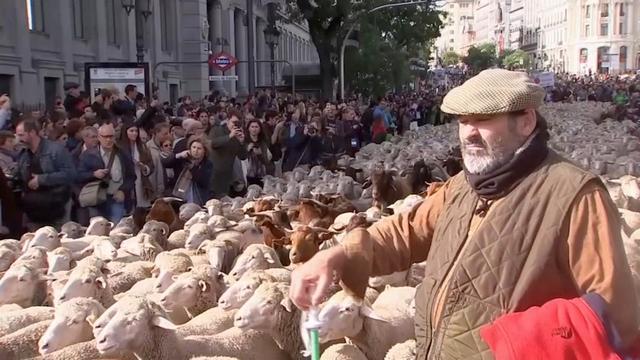 Tweeduizend schapen lopen door centrum Madrid voor volksfeest