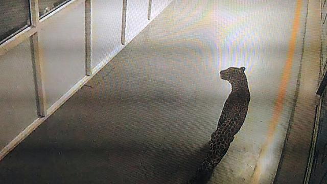 Luipaard gevangen na klopjacht van 36 uur in grootste autofabriek India