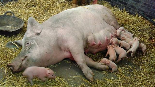 Partij voor de Dieren in actie tegen slacht biggetjes