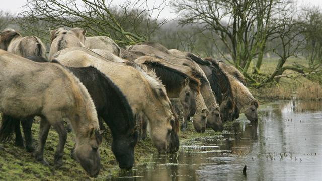 Boswachter Oostvaardersplassen bedreigd vanwege situatie dieren in gebied