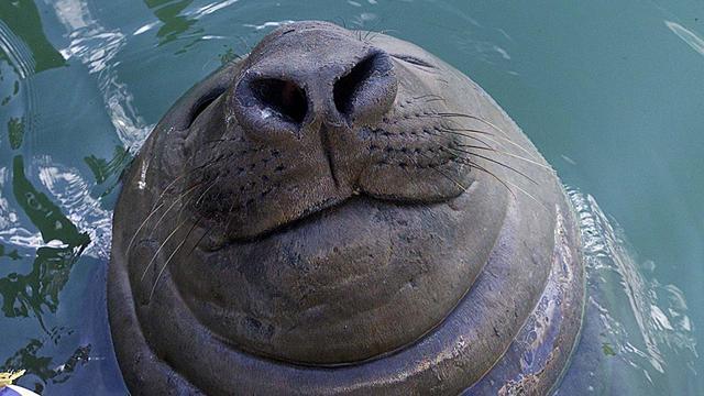 'Mannelijke zeeolifanten herkennen rivalen aan stem'