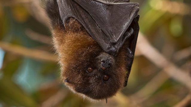 Gemeenteraadslid Miami wil vleermuizen inzetten tegen 'zikamug'