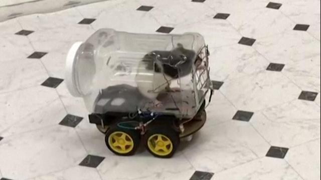 Onderzoekers leren ratten rijden in plastic autootjes