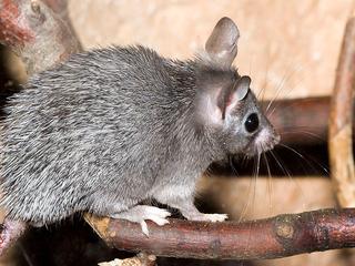 Botten van knaagdieren gevonden in resten Schotse nederzetting