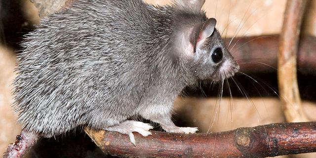 Muizensoort met 'menselijke' menstruatiecyclus ontdekt