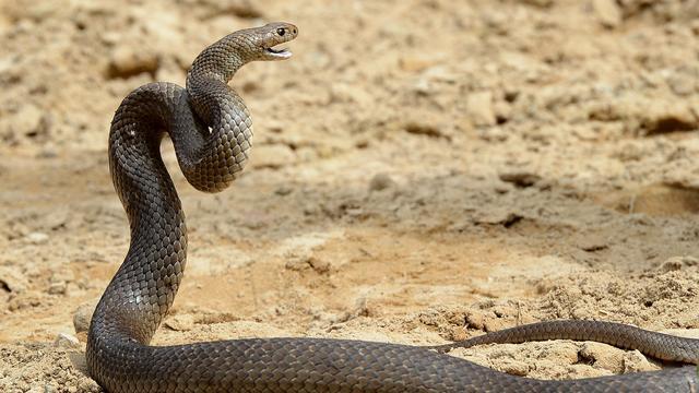 Australische moeder ontdekt dodelijke slang in broodtrommel kind