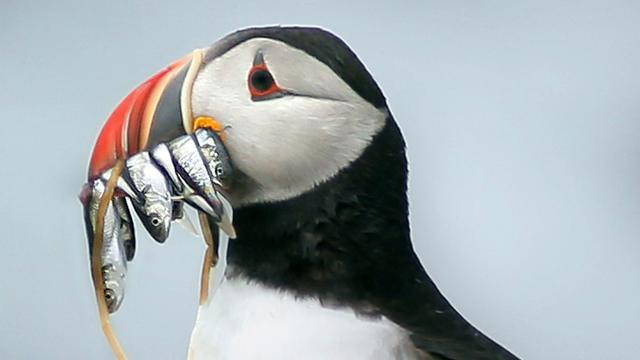 Papegaaiduiker gevonden in Egmond aan Zee