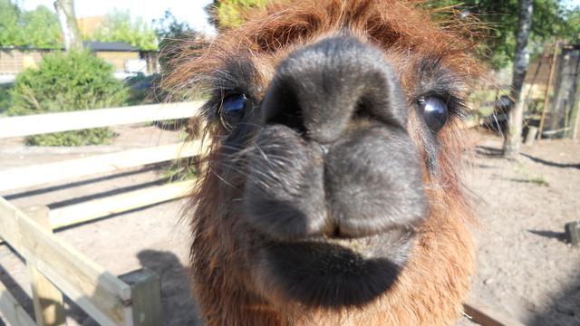Alpaca en pony mogen in Rillandse tuin blijven