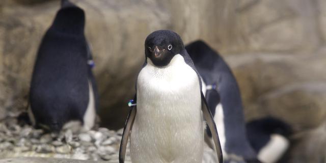Meer dan een miljoen pinguïns op de Zuidpool ontdekt
