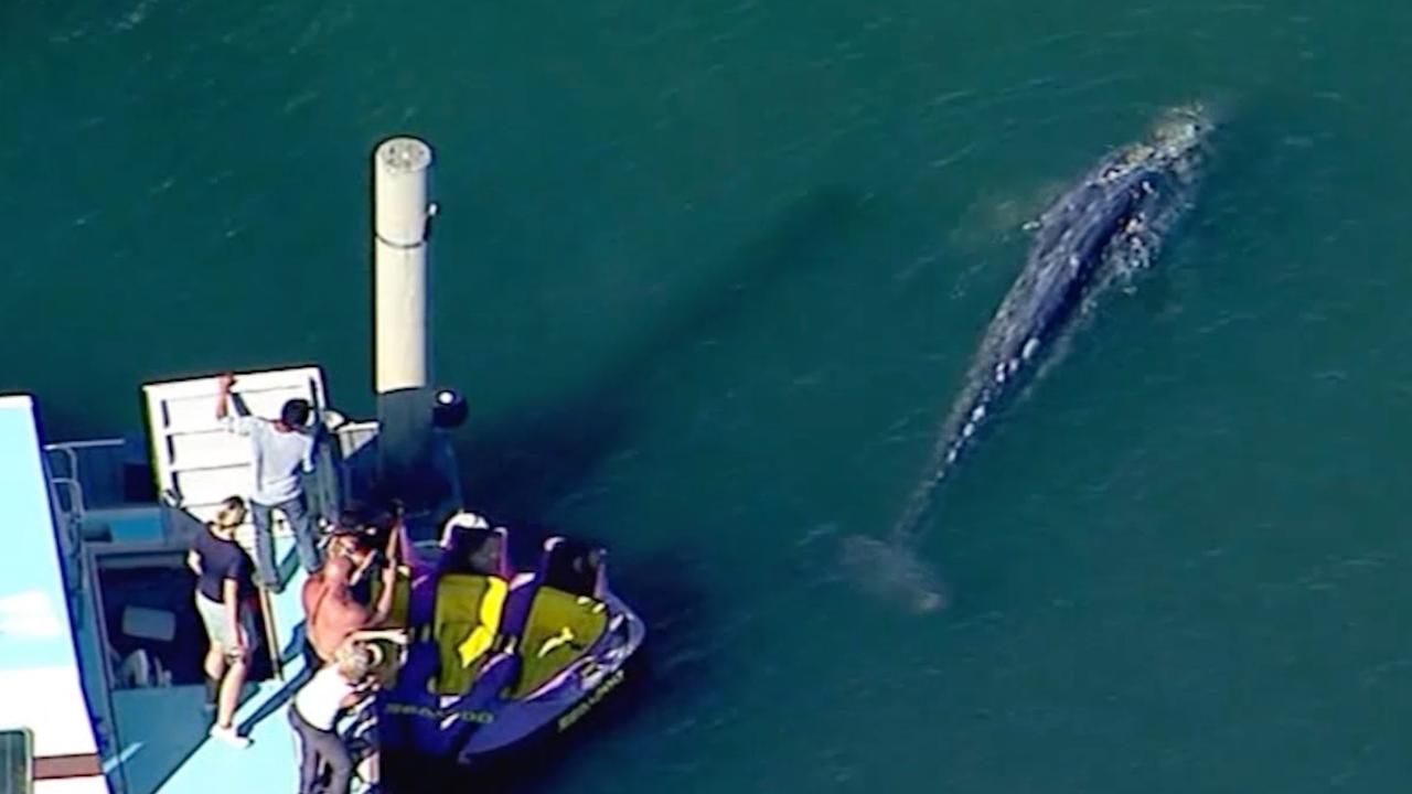 Jong grijze walvis verdwaald in ondiep water bij Long Beach Californië