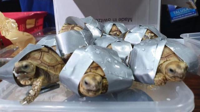 Filipijnse politie vindt vijftienhonderd levende schildpadden in bagage
