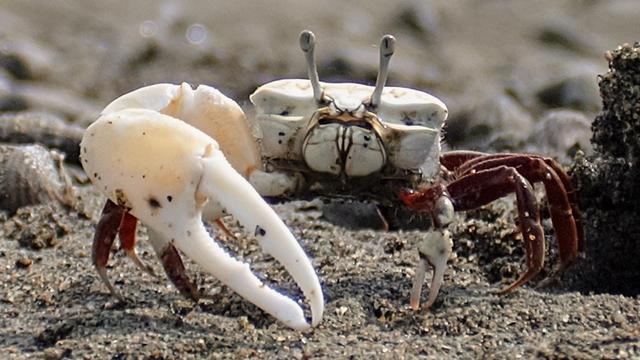 Gehandicapte krabben overbluffen hun rivalen met 'nepschaar'