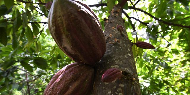 Cacao werd 5.300 jaar geleden al gebruikt in Ecuador