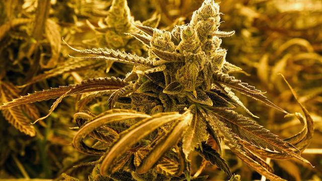 'Cannabisgebruikers lopen hoger risico te sterven aan gevolgen hoge bloeddruk'