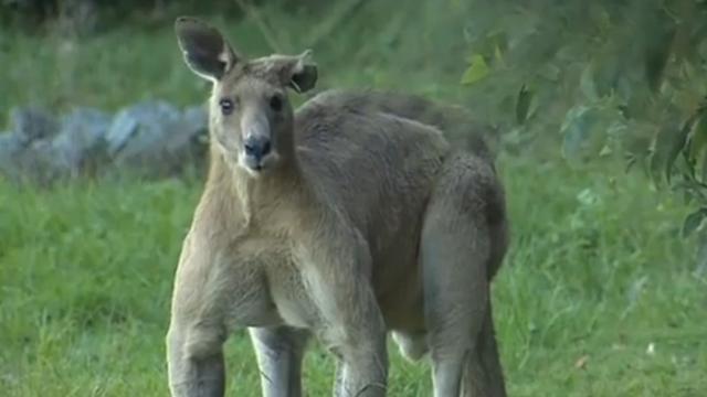 Gespierde kangoeroe schrikt inwoners Brisbane af