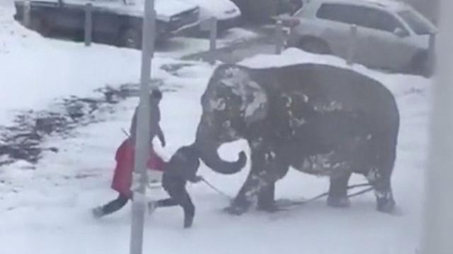Kijken: ontsnapte circusolifanten lopen door Russische stad
