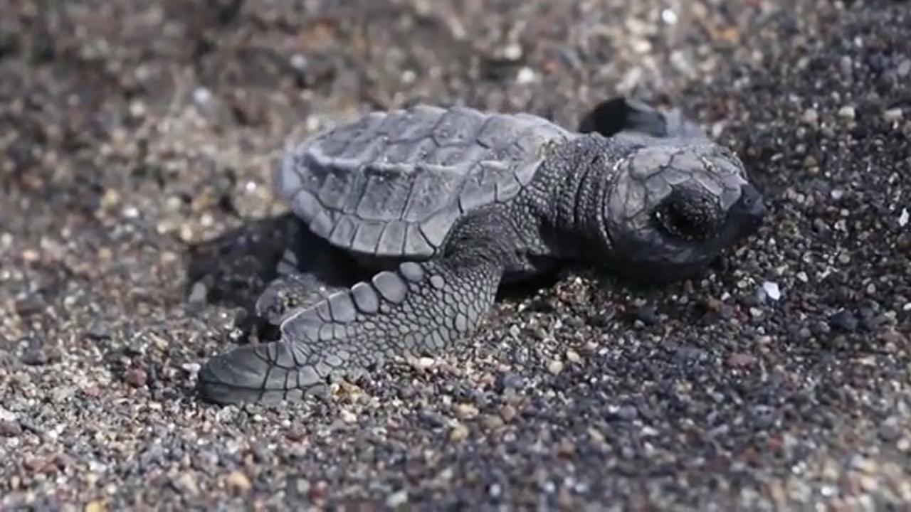 Kleine schildpadden kruipen uit zand op strand in Guatemala