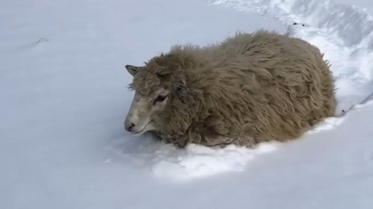 Schaap komt amper vooruit door dik pak sneeuw in Canada