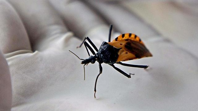 NUcheckt: Gevaarlijk 'zoeninsect' komt niet in Nederland voor
