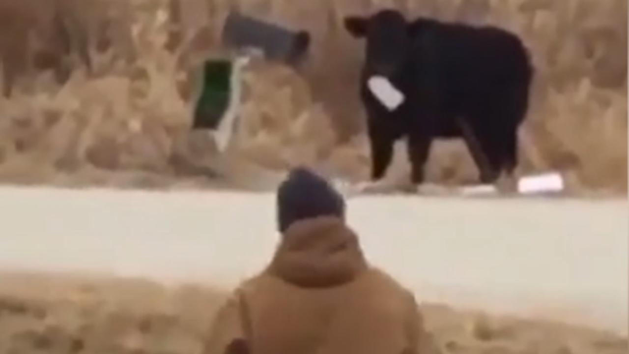 Koe eet post rechtstreeks uit brievenbus van familie uit Iowa