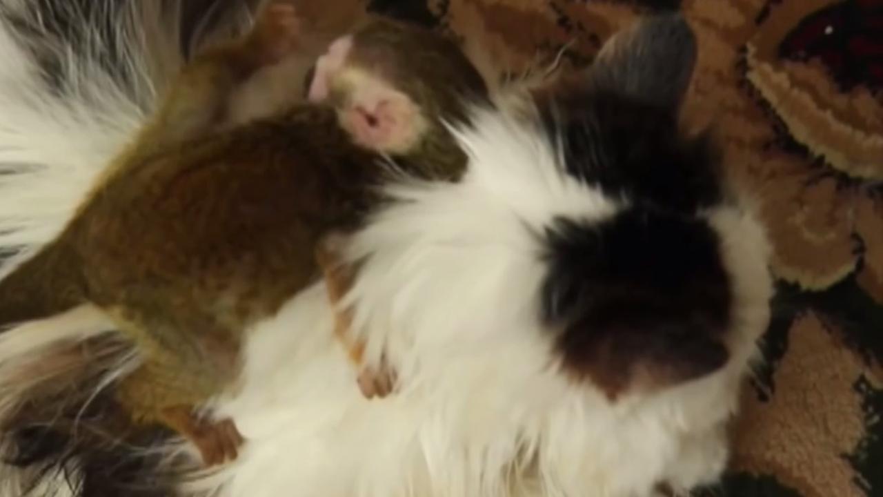 Aapje heeft kat als nieuwe moeder