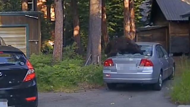 Amerikaanse sheriff bevrijdt beer uit auto met schot door ruit