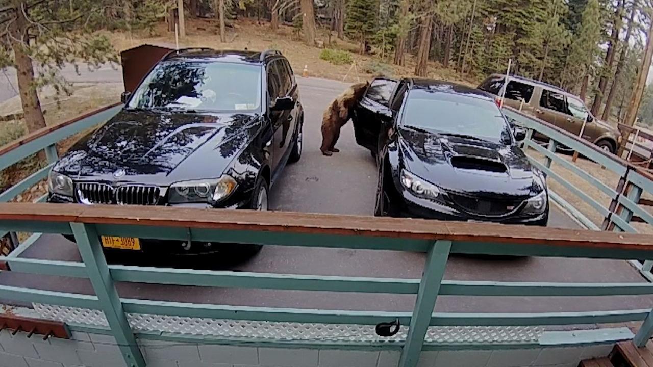 Beer bij Lake Tahoe opent autodeur en steelt voedsel