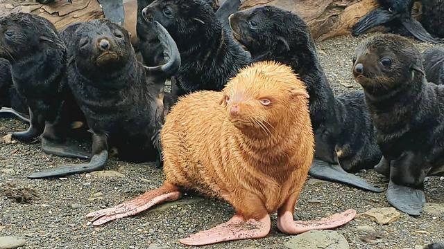 Schattig: oranje zeeleeuwtje gevonden in Rusland
