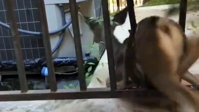 Brandweer LA redt hert uit spijlen hek