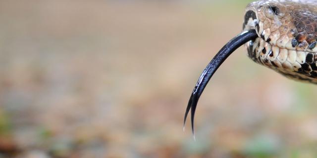 'Cubaanse slangensoort jaagt in groepen'