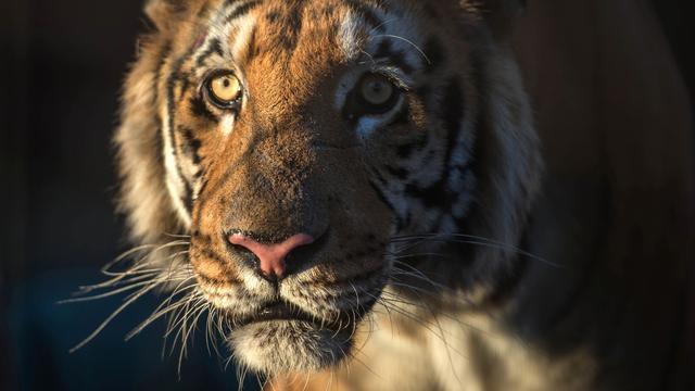Uitgemergelde dieren uit dierentuin Aleppo naar Turkije