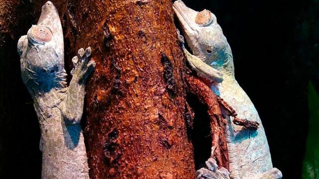 Blijdorp verwelkomt bedreigde henkels bladstaartgekko's