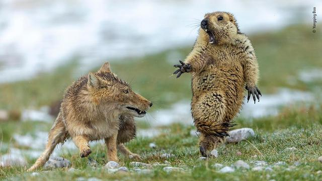 Prijs voor zeldzame foto van gevecht tussen vos en marmot