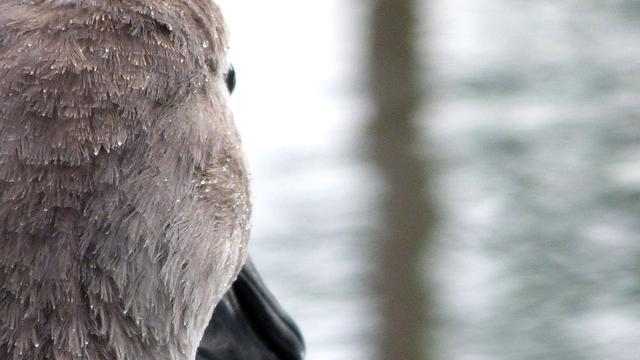 Brandweerman redt vastgevroren zwaan in Breda