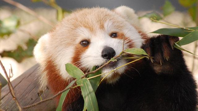 Dierentuin VS zoekt ontsnapte rode panda