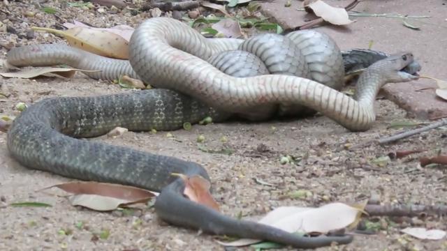 Tijgerslang vecht tot de dood met bruine slang in Australië