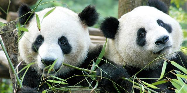 Goed nieuws: Paashaas werkt door | Panda in Rhenen mogelijk drachtig
