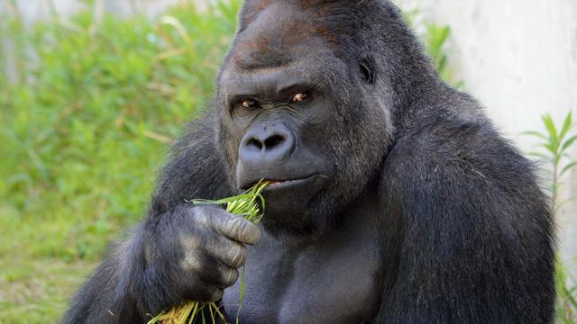 Gorilla doodgeschoten in dierentuin na val kleuter in verblijf