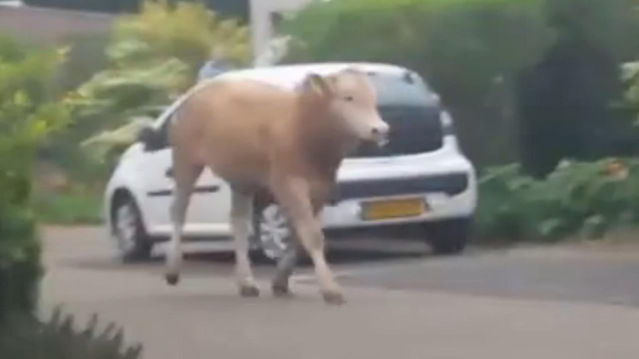 Terneuzen opgeschrikt door loslopende stieren
