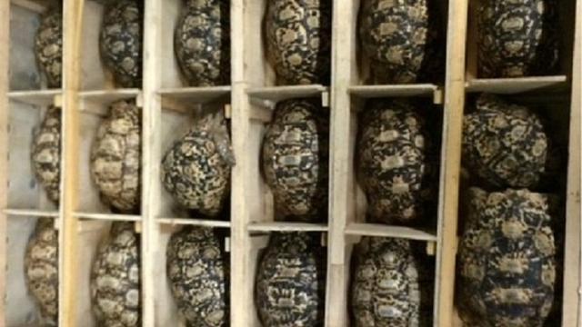 Schildpadden aangetroffen in te kleine kisten op Schiphol