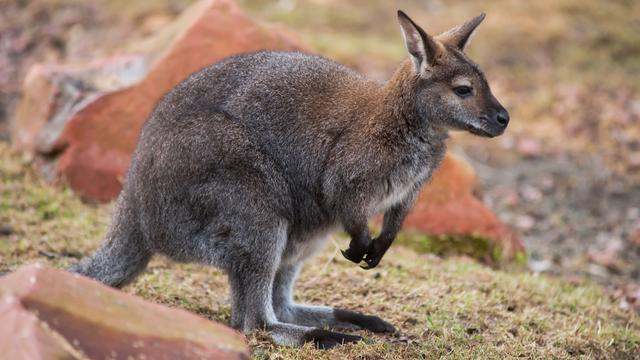 Dierenclubs bezorgd over groot aantal ontsnapte wallaby's in Nederland