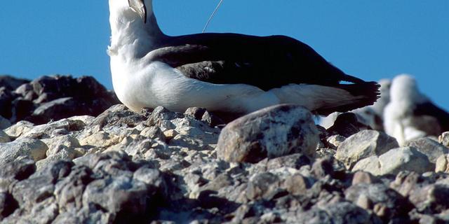 Zeevogels eten plastic in zeewater vanwege geur