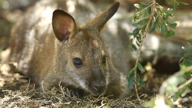 Wallaby korte tijd ontsnapt uit dierentuin ARTIS