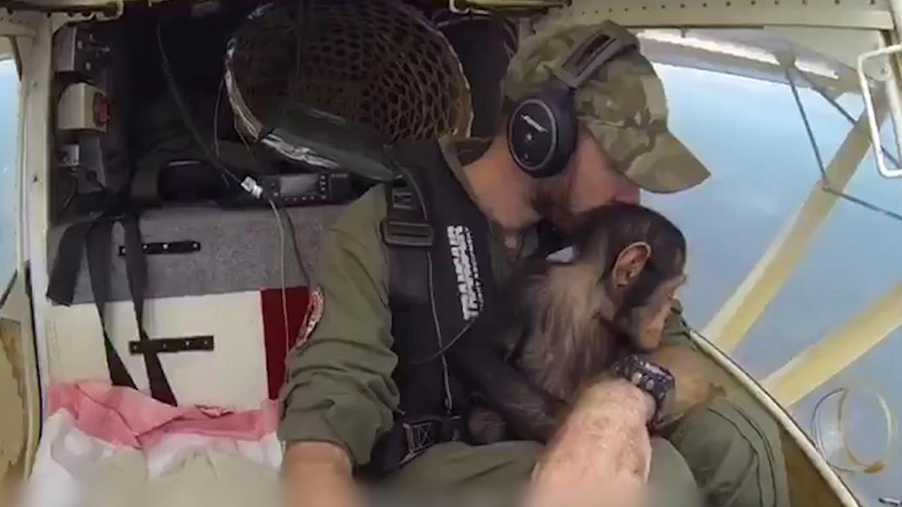 Jonge chimpansee laat zich vlooien door piloot na redding stropers