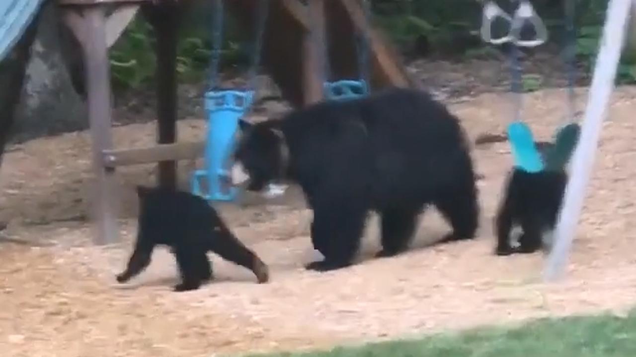 Beren 'spelen' in achtertuin Amerikaans gezin